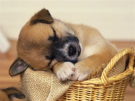 Cute Baby Puppies Sleeping   Amazing Wallpapers