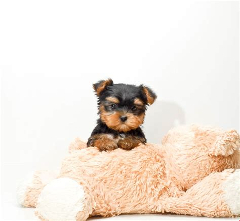 teacup yorkie for adoption in teacup rascal is our yorkie puppy for adoption