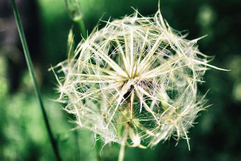 fiori dente di foto gratis dente di fiore macro pianta macro