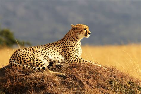 wallpaper cheetah maasai mara national reserve kenya