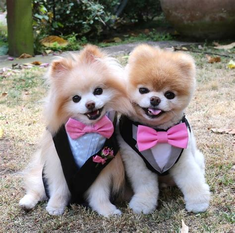 pomeranian bo is boo just a pomeranian with a haircut