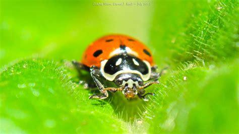 printable bug eyes ladybug eyes macro 1920x1080 wallpaper by ejkaull on