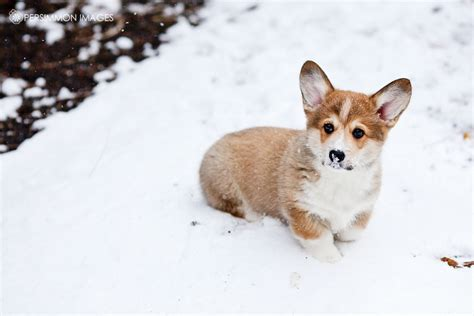 corgi puppies seattle corwin the corgi seattle photography 187 persimmon images seattle wedding