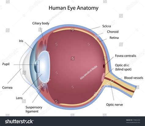 Human Cross Section by Cross Section Of Human Eye Stock Vector Illustration