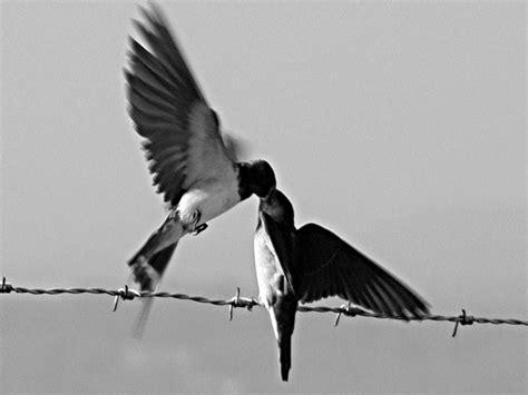 golondrinas golondrinas volando imagui  rico beso