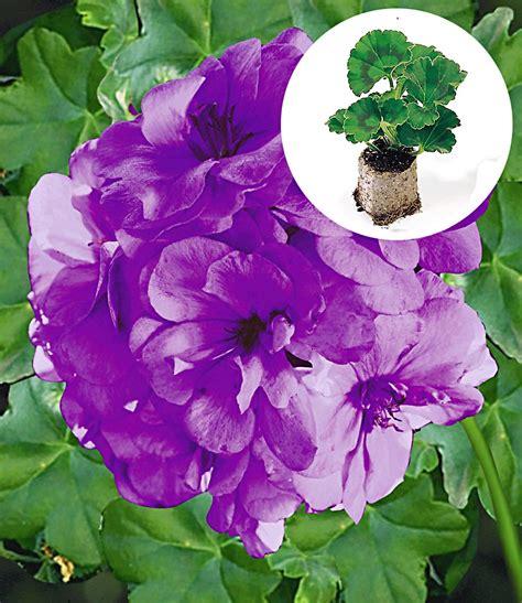 Pelargonien Pflege by Blaue Geranie Blue Sybil 174 Pac 174 Geranien Bei Baldur Garten