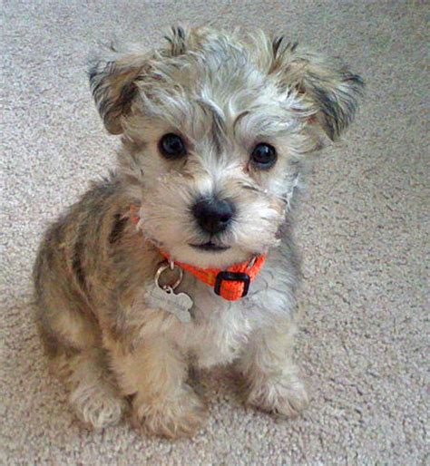 schnauzer mix puppies schnauzer poodle mix puppies for sale