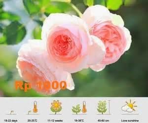 Harga Grosir Benih Mawar Mystic Rainbow Import mari berkebun daftar biji buah bunga
