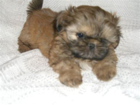 brown shih tzu puppies shih tzu puppies brown www pixshark images galleries with a bite