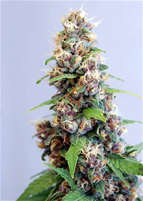 le canabis marijuana seeds le fruit defendu feminized cannabis seeds review