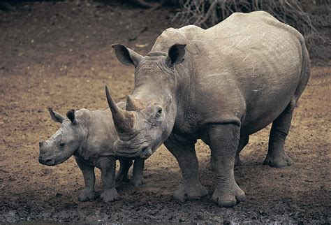 ENCYCLOPEDIA OF ANIMAL FACTS AND PICTURES: RHINOCEROS