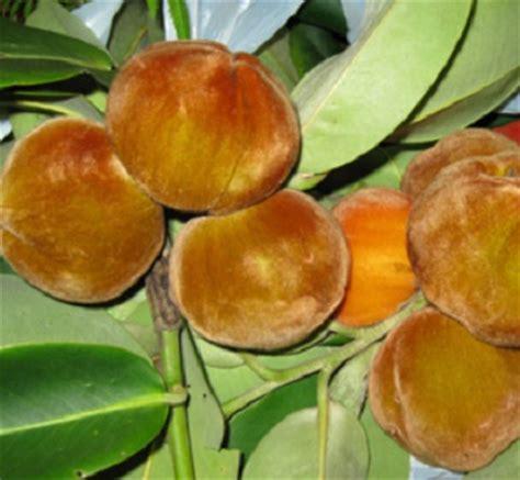 Obat Gastrul Per Biji benih buah bisbul velvet apple