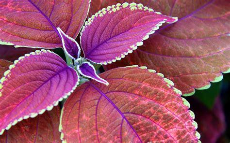 wallpaper daun daun ungu berwarna merah muda coretan