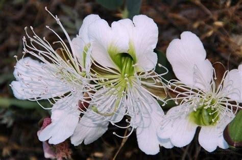 fior di cappero fiori di cappero aromatiche caratteristiche dei fiori