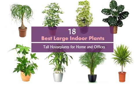 best plants 18 best large indoor plants tall houseplants for home