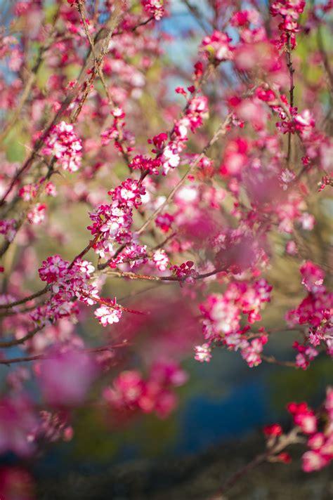 Pink Flower 4in1 crabapple coralburst flowerin creekside tree nursery