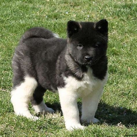 akita for sale akita puppies for sale akita breed information greenfield puppies