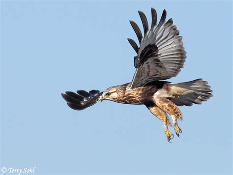 rough legged hawk photos of rough legged hawk buteo lagopus