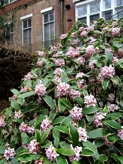 Flowering Shade Shrubs - 25 best ideas about shade loving shrubs on pinterest shade loving flowers shade landscaping