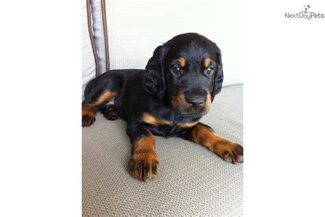 setter puppies for sale in michigan gordon setter puppy for sale near grand rapids michigan 10ca06cd 24d1