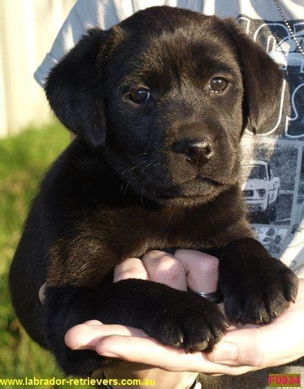 labrador puppies for sale indiana labrador puppies for sale nsw australia in poolah nsw animal truelocal