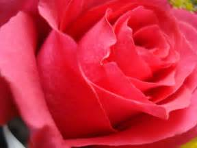 Rose Flower Images by Desktop Inspiratoin Beautiful Rose Flower Wallpaper