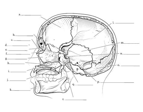 midsagittal section of the skull skull bones midsagittal section purposegames