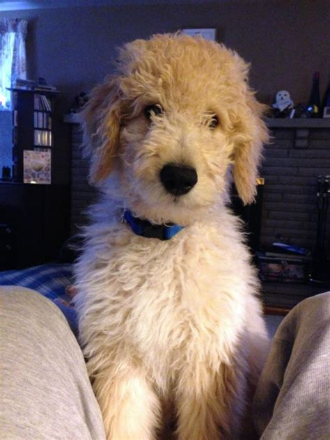 yankee doodle puppies for sale goldendoodle puppies standard poodles for sale in pa