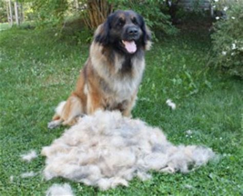 Do Leonbergers Shed by Lccstellafur3smb Leonberger Club Of Canada