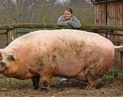 world s heaviest the gallery for gt largest pig in the world
