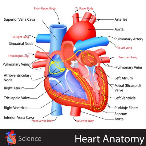 sections of the heart heart anatomy kidspressmagazine com