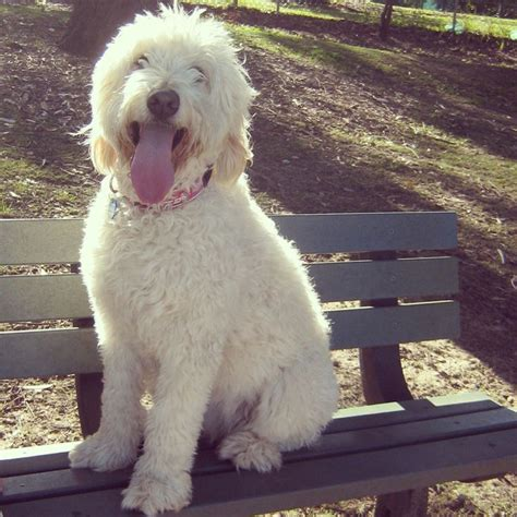 oodles dogs 54 best images about oodle groodle goldendoodle retrodoodle on