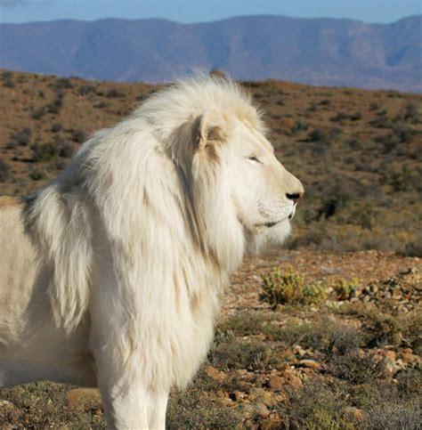 imagenes leones blancos movimiento curiosidades del mundo fotos del extra 241 o le 243 n blanco