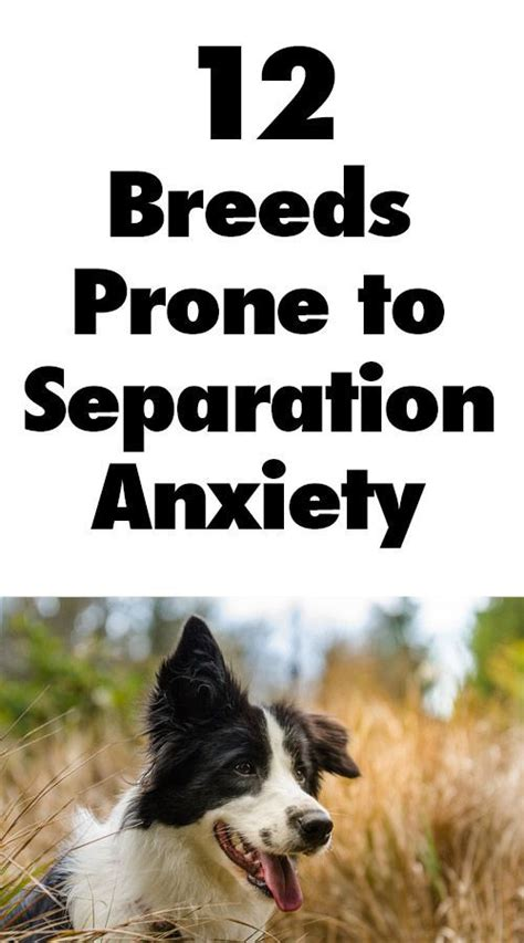 dogs with anxiety 12 breeds prone to separation anxiety anxiety separation anxiety and dogs