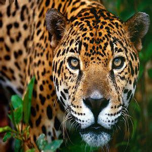 jaguar themes for windows 8 1 download jaguar theme for pc