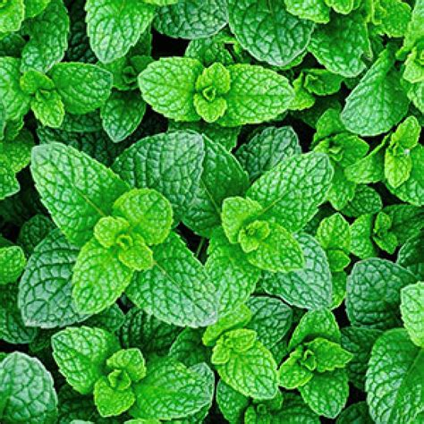 can dogs mint mint spearmint for horses herbs