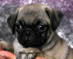 pug puppies for sale in nh available puppies for sale in nh