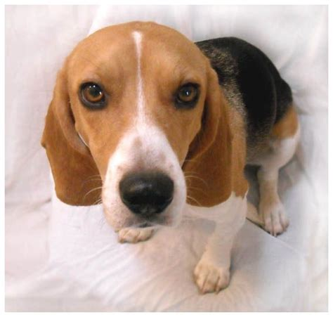 floppy ear short hair dog 17 best images about ear clean gold for dogs on pinterest