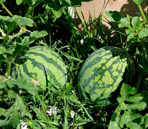 How To Plant Watermelon In A Garden by Watermelon The Best Nutrient Dense Fruit By Ah Ran Youn