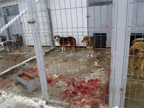 pound dogs a charity saves dogs from cruel deaths in romania world news express co uk