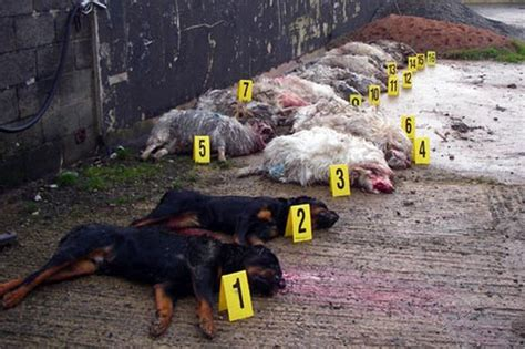 rottweiler kills quot dogs quot go on sheep killing rage in denbigh daily post