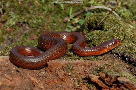 Garter Snake Belly Mexican Black Bellied Garter Snake Scorpion