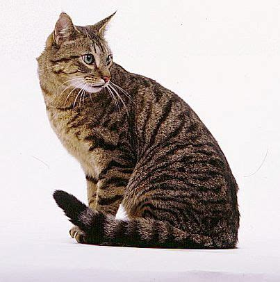 Brown Cat 2 brown tabby cat cats tabby cats and cat