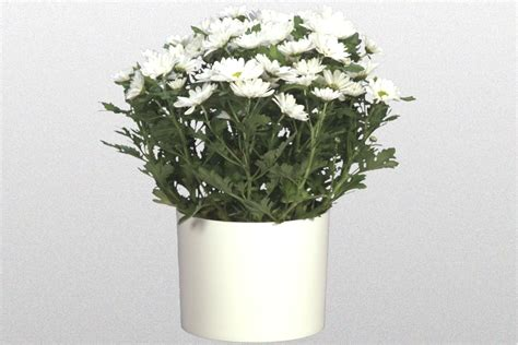 image gallery nasa chrysanthemum air 06 in chrysanthemum spp