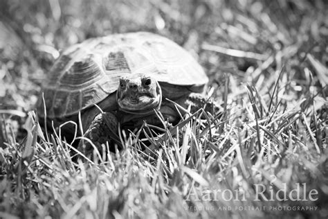 russian tortoises russian tortoise photographs a russian tortoise enjoying