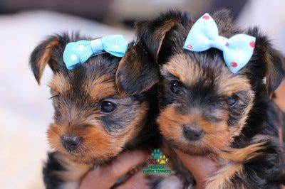 yorkie puppies for sale inland empire 25 best ideas about on filhotes de morkie filhotes de