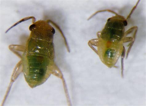 bug acis spany212