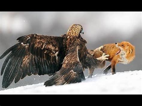 imagenes de leones y aguilas zorro ataca a aguila real caso incre 237 ble youtube