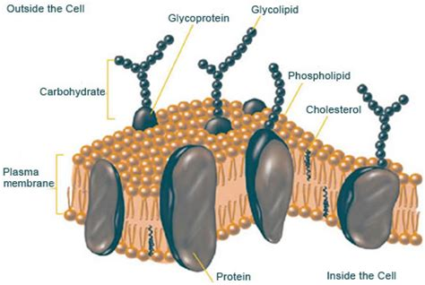carbohydrates on cell membranes help cells plasma cell membrane 1nguyensu
