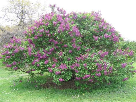 lilac bush when and how to prune a lilac bush